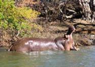 Victoria Falls - Hippo