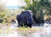 Victoria Falls - Elephant